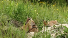 Fox cubs playing Stock Footage