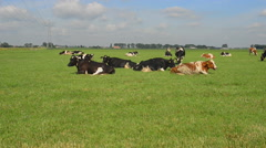 Holstein dairy cows. Stock Footage