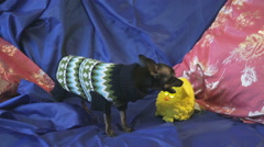 Dog toy-terrier barks and plays with a yellow toy Stock Footage
