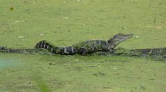 Small gator basking Stock Footage