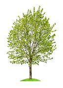 Deciduous tree isolated - stock photo