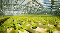 Lettuce cultivation at an industrial scale,in the greenhouse. Stock Footage