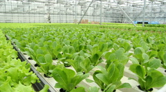 Lettuce cultivation at an industrial scale,in the greenhouse. - stock footage