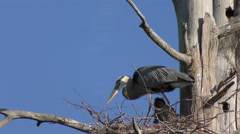 Great Blue Herons in the Nest. - stock footage