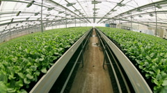 Lettuce cultivation at an industrial scale,in the greenhouse Stock Footage
