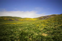 5K MoCo Time Lapse of Wildflowers on Foggy Hills in Super Bloom 2016  Stock Footage