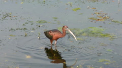 Glossy ibis Stock Footage