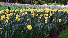 yellow daffodils in a flowerbed in the wind - stock footage
