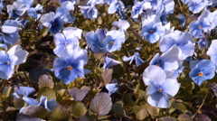Violets in the wind Stock Footage