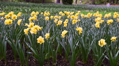 The movement of the camera along the yellow daffodils Stock Footage