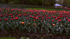 red tulips in a flowerbed - stock footage