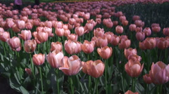Beautiful tulips in bright pink color Stock Footage