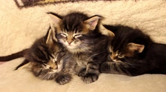 three Funny little kittens Maine Coon wake up - stock footage