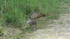 Limpkins in Florida Wetlands Stock Footage