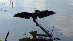 Anhinga perching Stock Footage