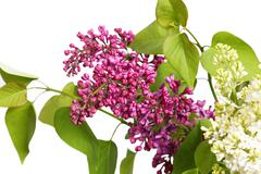 Bouquet of pink and white lilac isolated on white - stock photo