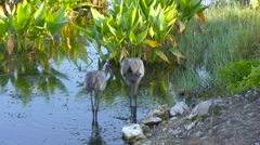 A Pair of Sandhill Cranes in the water - stock footage