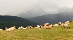 Sheep graze and eat grass in the mountains, in Montenegro (alps) Stock Footage