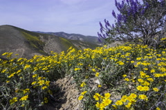 5K 2axis MoCo Time Lapse of Wildflower Super Bloom on Hillside  Stock Footage