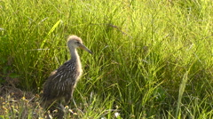 Baby Limpkin in Florida Wetlands Stock Footage