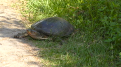 Female Florida Softshell Turtle laying eggs Stock Footage