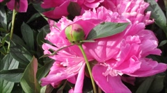 peony, pink red flowers under bright sunlight, close up - stock footage