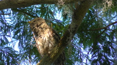 Young Barred Owl Perches on a Branch - stock footage