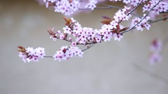 Blossoming branch with with flowers of Prunus cerasifera Stock Footage