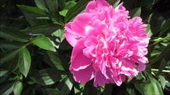 beautiful pink red peony flowers under bright sunlight, close up with a bee - stock footage