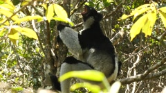 Singing Indri sits in the tree and answers the callings of his fellows Stock Footage