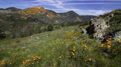 2axis MoCo Time Lapse of California Poppy Super Bloom  Stock Footage