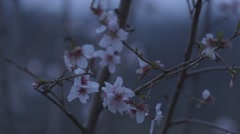 Apple spring flower Stock Footage