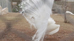 Large white peacock close-up, an albino peacock Stock Footage
