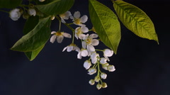 Disclosed Bird Cherry Flowers Macro Taymlaps on a Black Background Stock Footage