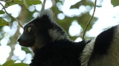 Indri in the tree, looks around, disappears, portrait, closeup Stock Footage