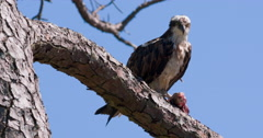 Osprey holding fish in pine tree. Stock Footage