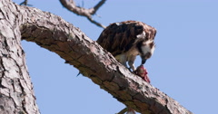 Osprey eating fish in pine tree. Stock Footage