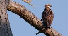 Osprey in pine tree, tilts head up. Stock Footage