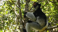 Singing Indri sits in the tree and answers the callings of his fellows, close Stock Footage