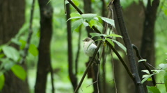 Bird  Flycatcher perching  on a tree branch in  forest - stock footage