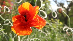Poppies in the Spring time Stock Footage