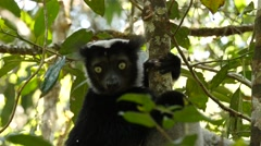 Singing Indri answers the calling of his fellows, closeup Stock Footage