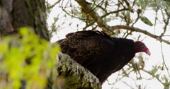 Turkey vulture perched in a tree, looking around. Stock Footage