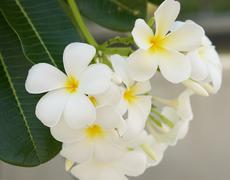 Beautiful white Frangipani cluster - stock photo