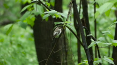 Bird  Flycatcher perching  on a tree branch in  forest Stock Footage
