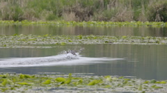 Pied Billed Grebes Run Across a Pond Stock Footage