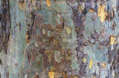 Close up of eucalyptus tree trunk texture Stock Photos