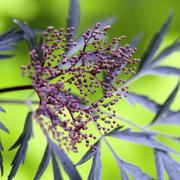 Purple berries on black elder plant - stock photo