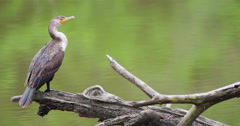 Juvenile double-crested cormorant perched on a log in a creek. Stock Footage