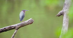 Green heron perched on a branch in a creek, turns head. Stock Footage